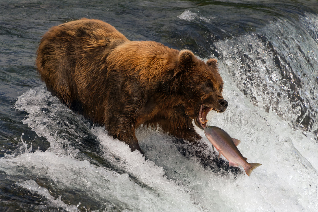 Grizzly bear catching a salmon, Brooks Falls, Alaska by Nick Dale