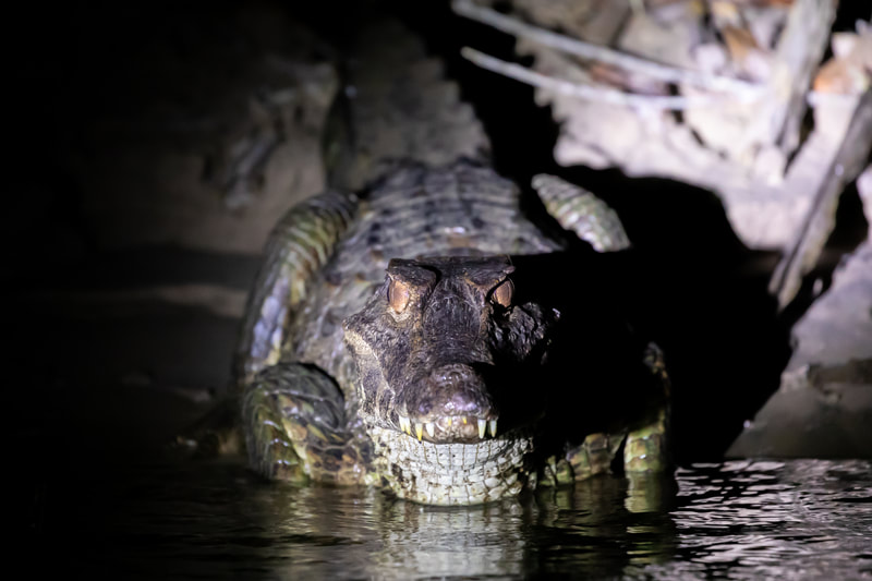 Caiman by by Andy Richardson