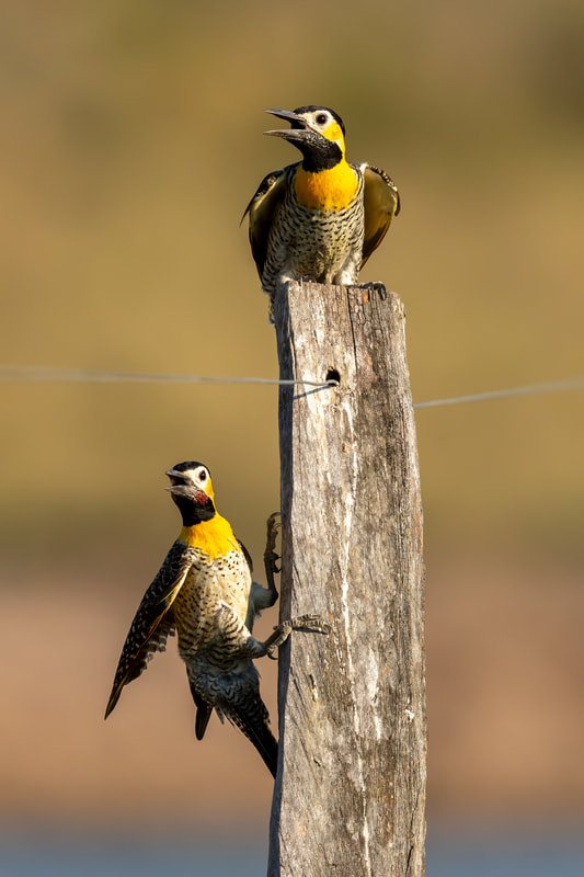 Campo flickers by Andy Richardson