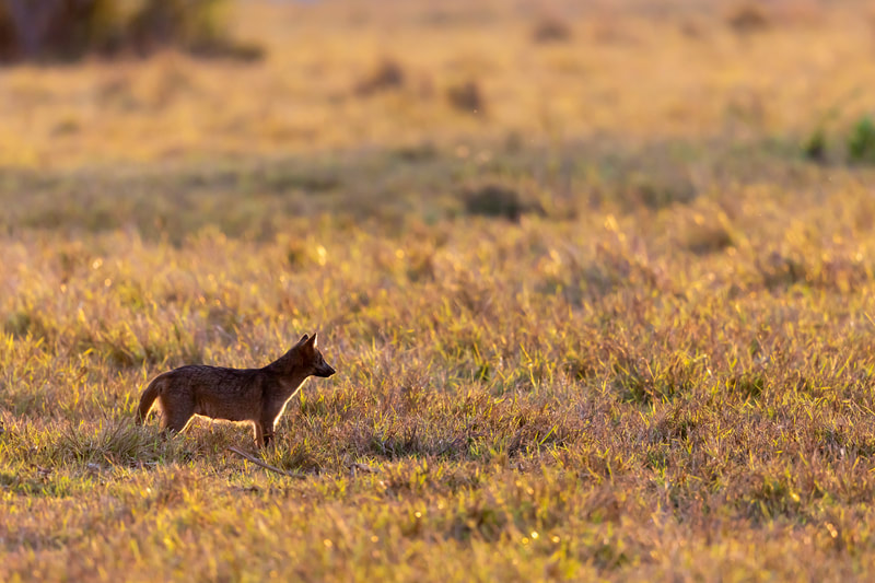 Crab-eating fox by Andy Richardson
