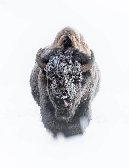 Bison in snow, Yellowstone National Park by Peter Whitehead