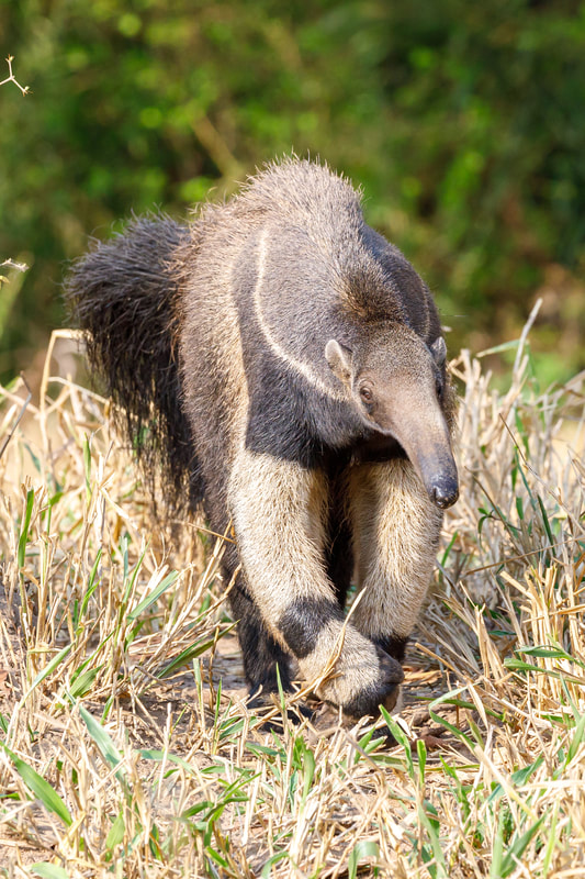 Giant anteater by Andy Richardson