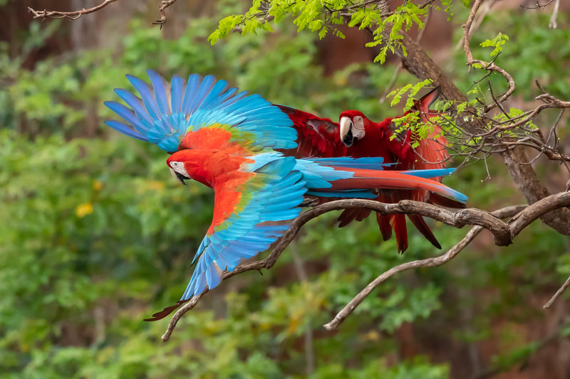 Red and green macaws by Andy Richardson